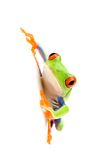 Frog on white Royalty Free Stock Images