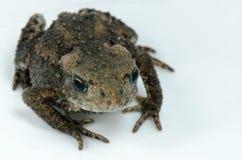 Frog on white Stock Image
