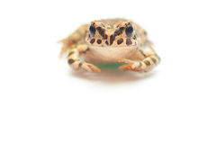 Frog on white. Little nice frog sitting on white background Royalty Free Stock Photos