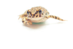 Frog on white. Little nice frog sitting on white background Stock Photography