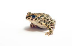 Frog on white. Little nice frog sitting on white background Royalty Free Stock Photography
