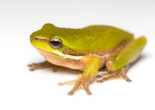 Frog  on white Stock Images