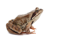 Frog on a white background Stock Images