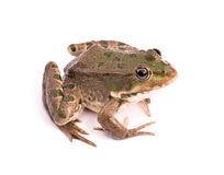 Frog on white background Stock Image