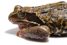 Frog on white background. Closeup Stock Photography