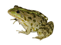 Frog on a white background. Green frog close-up on a white background royalty free stock photo
