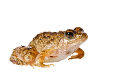 Frog on a white background. Frog posing on a white background Royalty Free Stock Image