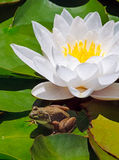 Frog and White Water Lily Royalty Free Stock Photos