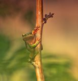 The frog. Who lived on a branch Royalty Free Stock Photos