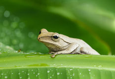 Frog in the wild Stock Photography
