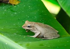 Frog in the wild Royalty Free Stock Photo