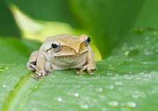 Frog in the wild Royalty Free Stock Photos
