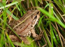 Frog wild nature Stock Image