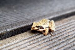Frog on wooden planks Stock Photography