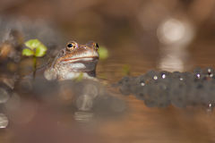Frog in the wster Royalty Free Stock Images