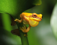 Frog, yellow hourglass tree frog, costa rica Stock Photo