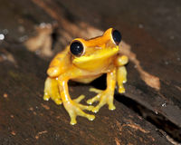 Frog,yellow hourglass tree frog,costa rica Stock Photo