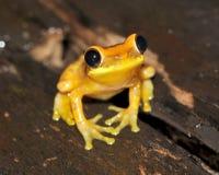 Frog,yellow hourglass tree frog,costa rica Stock Photo