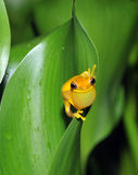 Frog,yellow hourglass tree frog,costa rica Stock Images