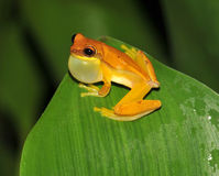 Frog,yellow hourglass tree frog,costa rica Royalty Free Stock Images
