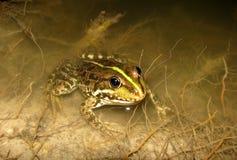 Frog1 Imagen de archivo