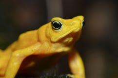 frog4 χρυσός panamanian Στοκ φωτογραφία με δικαίωμα ελεύθερης χρήσης