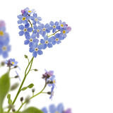 Froget me not corner. Forget me not heart shaped Royalty Free Stock Image