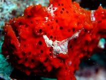 frogfish κόκκινο Στοκ Εικόνα