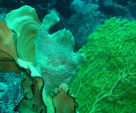 Frogfish. Stock Images