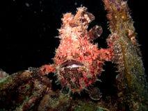 frogfish Στοκ Φωτογραφίες