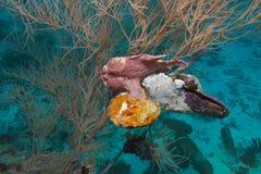 frogfish Στοκ Εικόνα