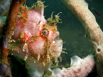 frogfish Obrazy Stock