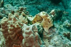 Frogfish Royalty-vrije Stock Foto's