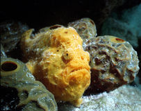 Frogfish Photographie stock libre de droits