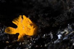 Frogfish alaranjado que senta-se na areia preta foto de stock
