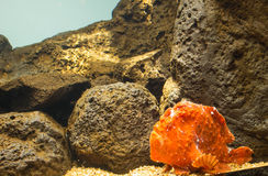Frogfish (Antennarius commerson). Resting on sand in Aquarium royalty free stock photos