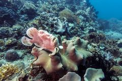 Frogfish on coral Stock Photos