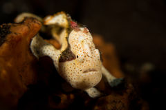 Frogfish dipinto - pictus di Antennarius Fotografia Stock