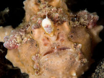 Frogfish face. On black background Stock Photos
