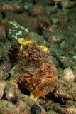 Frogfish Freckled em Ambon, Maluku, foto subaquática de Indonésia Fotografia de Stock Royalty Free
