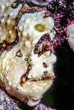 Frogfish Stock Photos