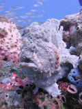 Frogfish géant Photo stock