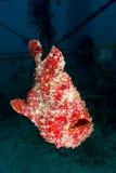 Frogfish géant de natation (orange) Photos stock