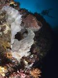 Frogfish gigante Foto de archivo libre de regalías