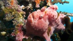 Frogfish gigante Antennarius Fotografia Stock Libera da Diritti