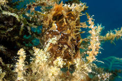 Frogfish Hidden On Sea Weed Stock Photography