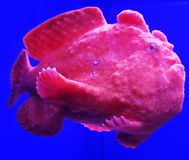 Frogfish Stock Photo