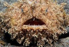 Frogfish melenudo imagen de archivo libre de regalías