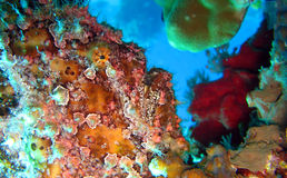 Frogfish o rana pescatrice verniciato, pictus di Antennarius Immagini Stock Libere da Diritti
