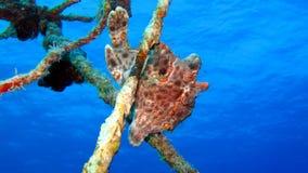 Frogfish o rana pescatrice verniciato, pictus di Antennarius Immagini Stock